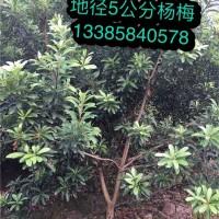 浙江杨梅苗培育基地 浙江杨梅苗批发价格