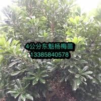 浙江杨梅苗木培育基地 浙江杨梅苗木批发价格