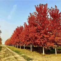 江苏美国红枫树苗供应基地 江苏美国红枫树苗批发价格