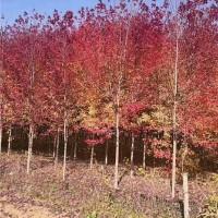 湖北美国红枫树苗供应基地 湖北美国红枫树苗批发价格