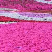 河南千亩芝樱种植供应 河南千亩芝樱采购直销