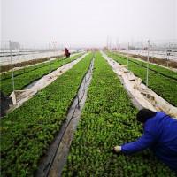 河南千亩欧石竹繁育基地 河南千亩欧石竹批发价格