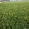 麦冬草价格,麦冬草产地批发价格质量好价格低