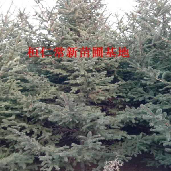 供应云杉树、云杉小苗、云杉种子、云杉基地、辽宁云杉
