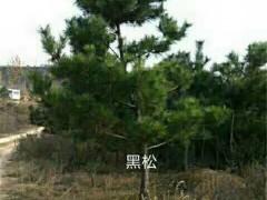 造型黑松树苗