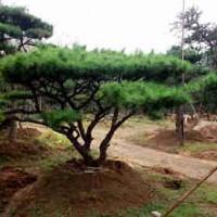山东济南造型景松