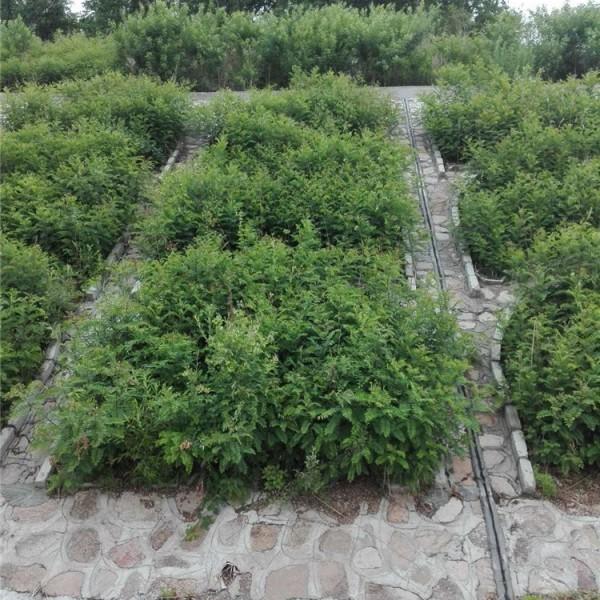吉林紫穗槐种植基地 吉林紫穗槐批发价格
