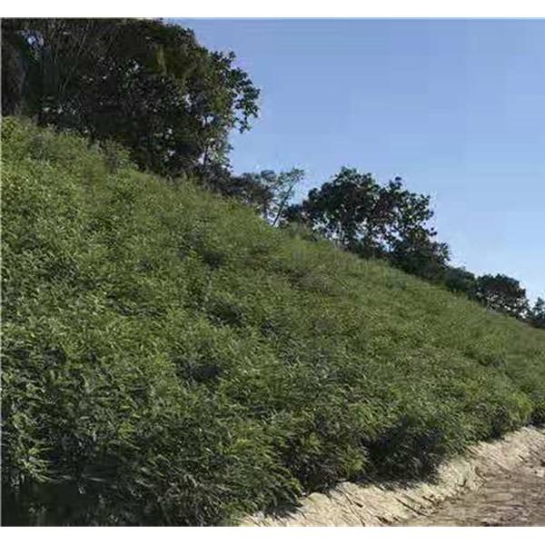 吉林紫穗槐批发价格 吉林紫穗槐种植基地