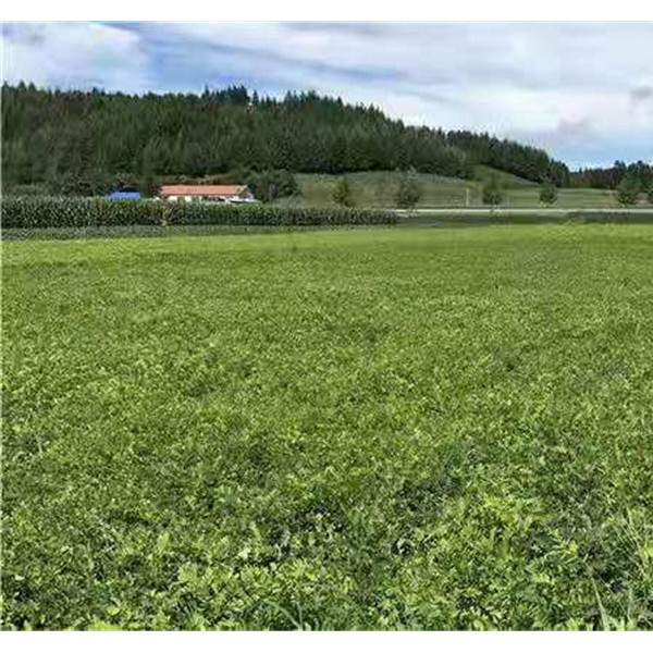 黑龙江紫穗槐杯苗种植基地 黑龙江紫穗槐杯苗批发价格
