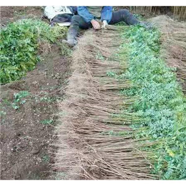 吉林紫穗槐杯苗批发价格 吉林紫穗槐杯苗种植基地