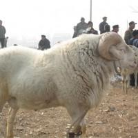 山东小尾寒羊养殖基地 山东小尾寒羊供应价格