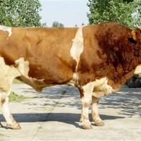 山东西门塔尔牛养殖基地 山东西门塔尔牛供应价格