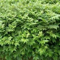 九江辣米树苗供应价格 九江辣米树苗培育基地