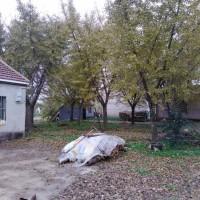 银杏树专供以及樱花,法桐,石榴,国槐等绿化苗木
