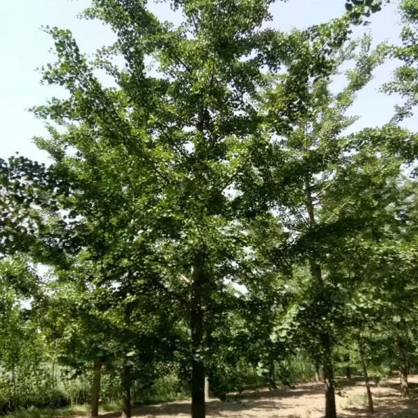 绿化苗木,海棠,石榴,樱花基地