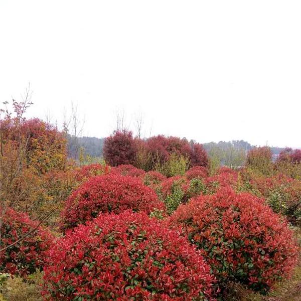 安徽红叶石楠供应基地 安徽红叶石楠批发价格