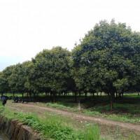 湖南四季桂树苗种植基地 湖南四季桂树苗供应价格