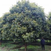 浏阳月桂树苗种植基地 浏阳月桂树苗供应价格