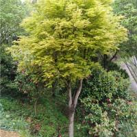 浏阳黄金枫树苗供应价格 浏阳黄金枫树苗种植基地