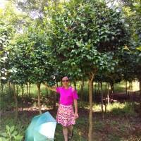 浏阳高杆茶花树苗种植基地 浏阳高杆茶花树苗供应价格