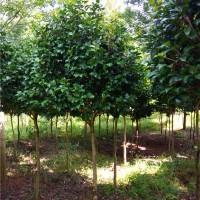 湖南高杆茶花树苗供应价格 湖南高杆茶花树苗种植基地
