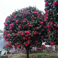 浏阳大茶花树苗供应价格 浏阳大茶花树苗种植基地