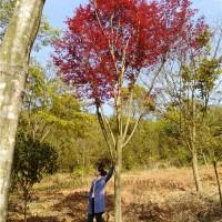 浏阳高杆红枫树苗种植基地 浏阳高杆红枫树苗供应价格