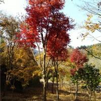 湖南高杆红枫树苗供应价格 湖南高杆红枫树苗种植基地