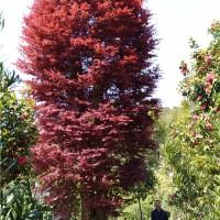 浏阳大红枫树苗种植基地 浏阳大红枫树苗供应价格