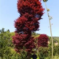 湖南大红枫树苗供应价格 湖南大红枫树苗种植基地