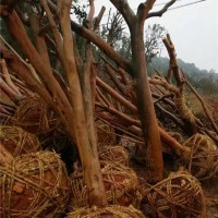 浏阳大油茶树苗供应价格 浏阳大油茶树苗种植基地