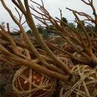湖南大油茶树苗种植基地 湖南大油茶树苗供应价格