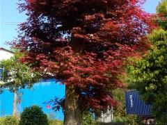 高杆红枫树苗