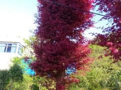 大红枫树苗