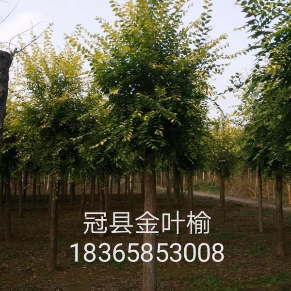 冠县金叶榆种植基地 冠县金叶榆批发价格