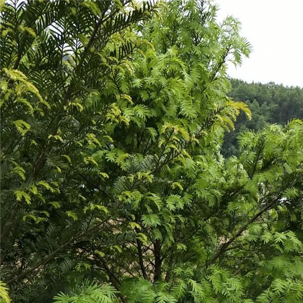 红豆杉培育基地 红豆杉批发价格