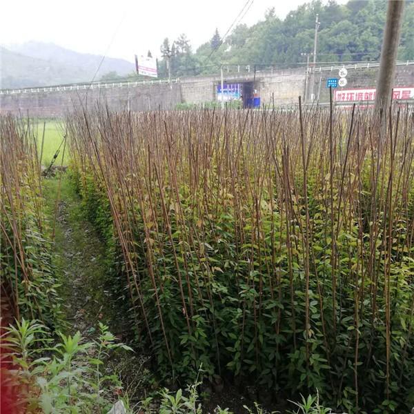 贵阳油麻藤苗供应价格 贵阳油麻藤苗种植基地