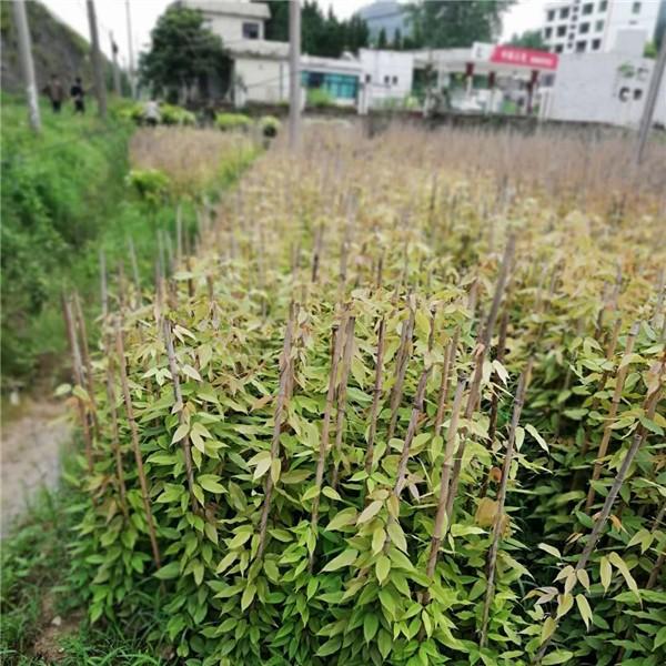 贵州油麻藤苗种植基地 贵州油麻藤苗供应价格